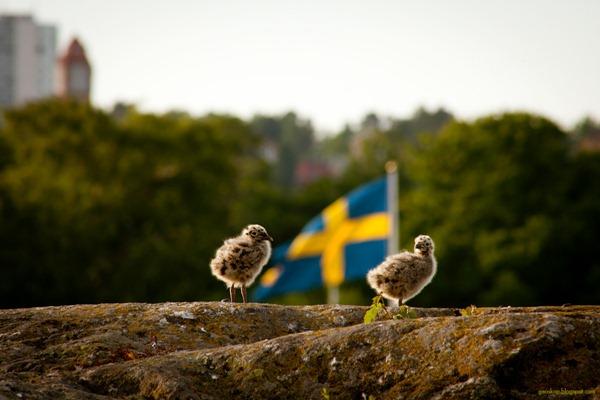 stockholm_moewenkueken